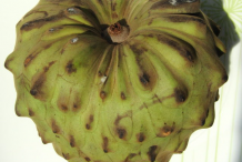 Single-Cherimoya
