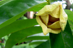 Cherimoya-flower