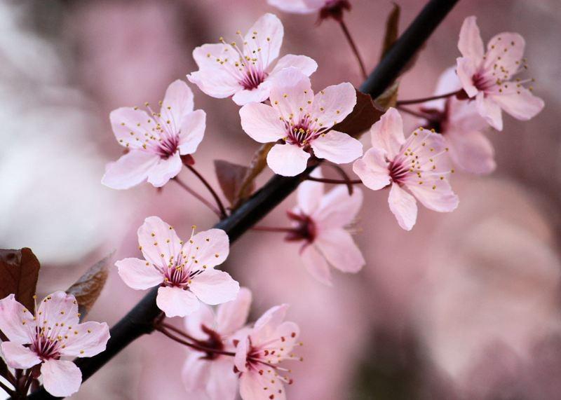 Cherries-flower