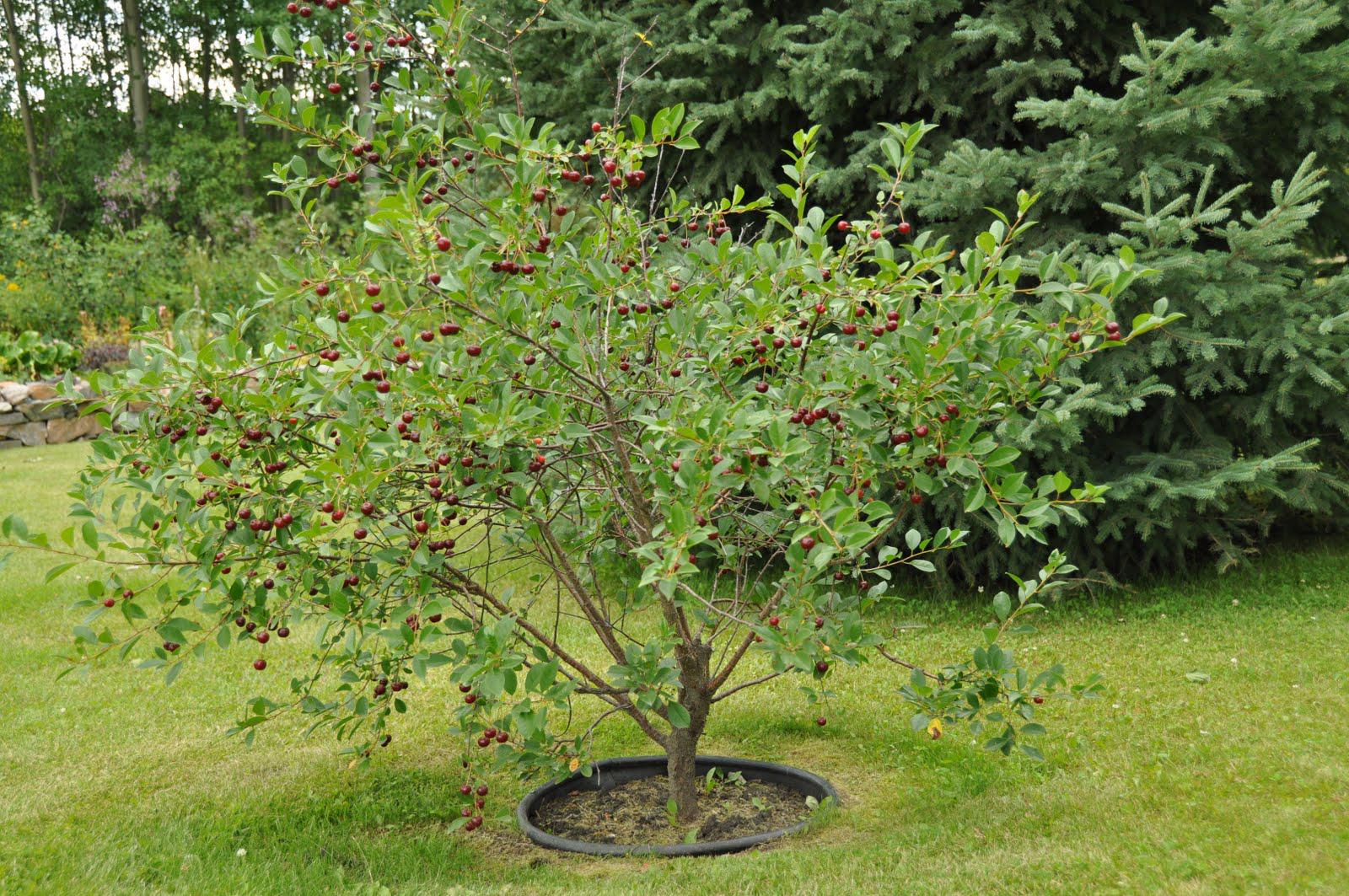 Cherries-plant