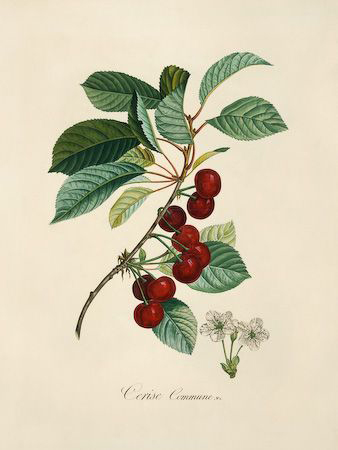 Illustration-of-Cherries