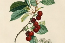 Illustration-of-Cherries