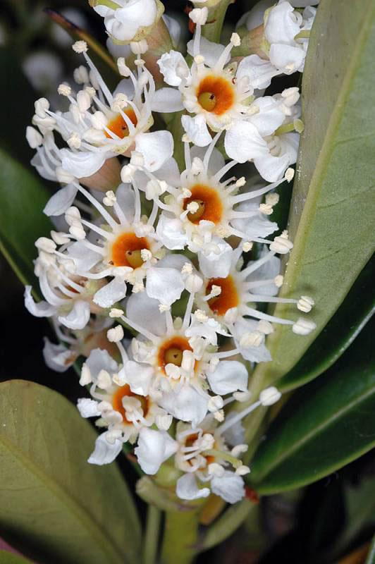 Closer-view-of-flower-of-Cherry-Laurel