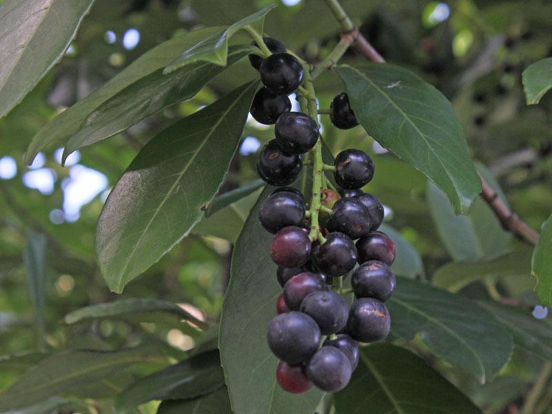 Mature-fruits-of-Cherry-Laurel