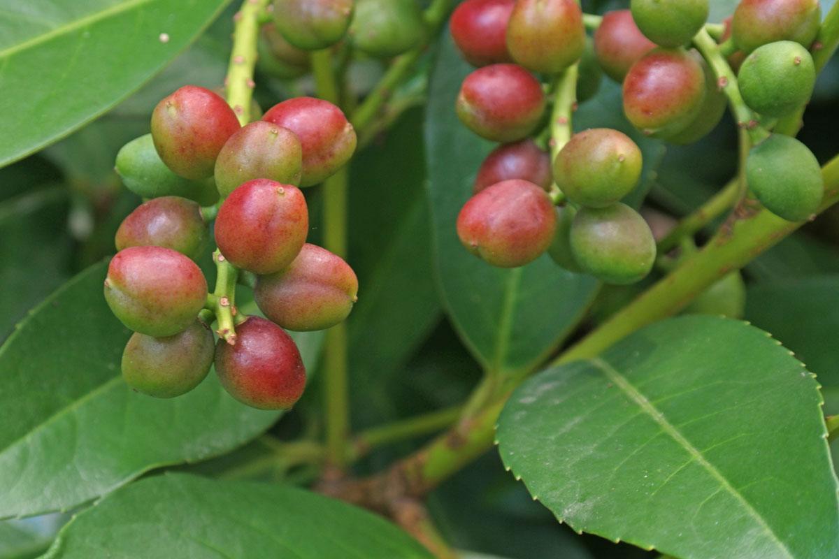 Maturing-Fruits-of-Cherry-Laurel