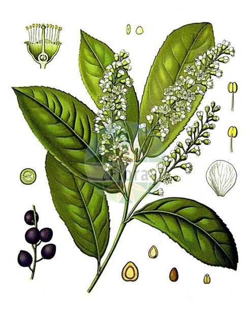 Plant-Illustration-of-Cherry-Laurel