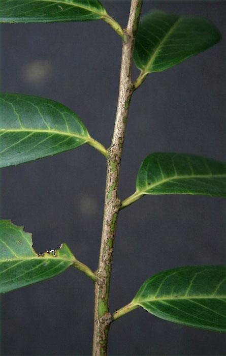 Stem-of-Cherry-Laurel