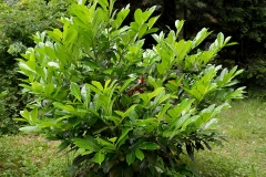 Cherry-Laurel-Plant