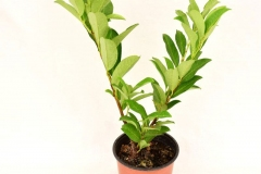Cherry-Laurel-plant-grown-on-the-pot