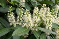 Flowers-of-Cherry-Laurel