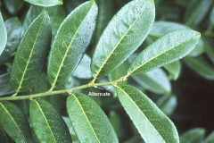 Leaves-of-Cherry-Laurel