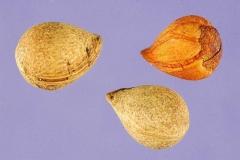 Seeds-of-Cherry-Laurel