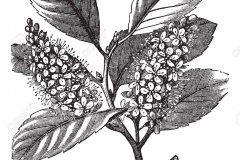 Sketch-of-Cherry-Laurel