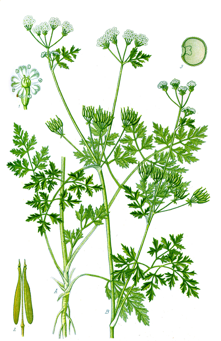 Chervil facts and health benefits - Aromatic herbs pots multiple benefits ...