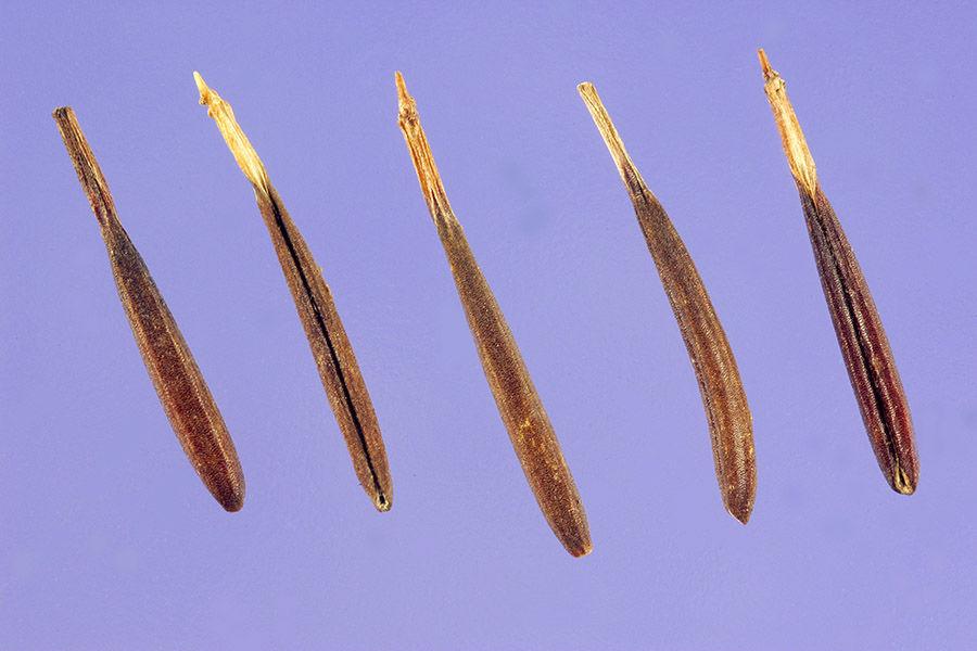 Chervil-Seed