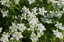 Chervil-Flower