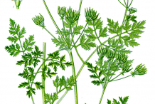 Chervil-Plant-Illustration