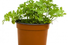 Chervil-Plant-on-the-Clay-Pot