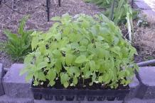 Chia-seeds-plant