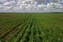 Chia-seeds-farm