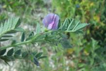 Chickpea-flower