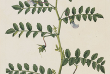 Chickpea-plant-Illustration