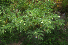 Chickpea-plant