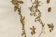 Dried-Chickpea-plant