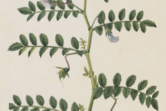 Chickpea-plant-Illustration