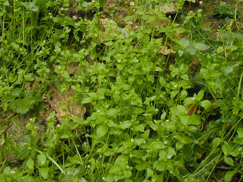 Chickweed--Plant-growing-wild
