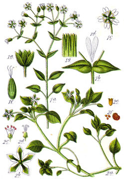Plant-Illustration-of-Chickweed