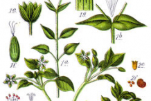 Plant-Illustration-of-Chickweed