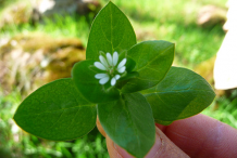 Images-showing-flower-and-leaves-of Chickweed