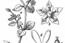 Sketch-of-Chickweed