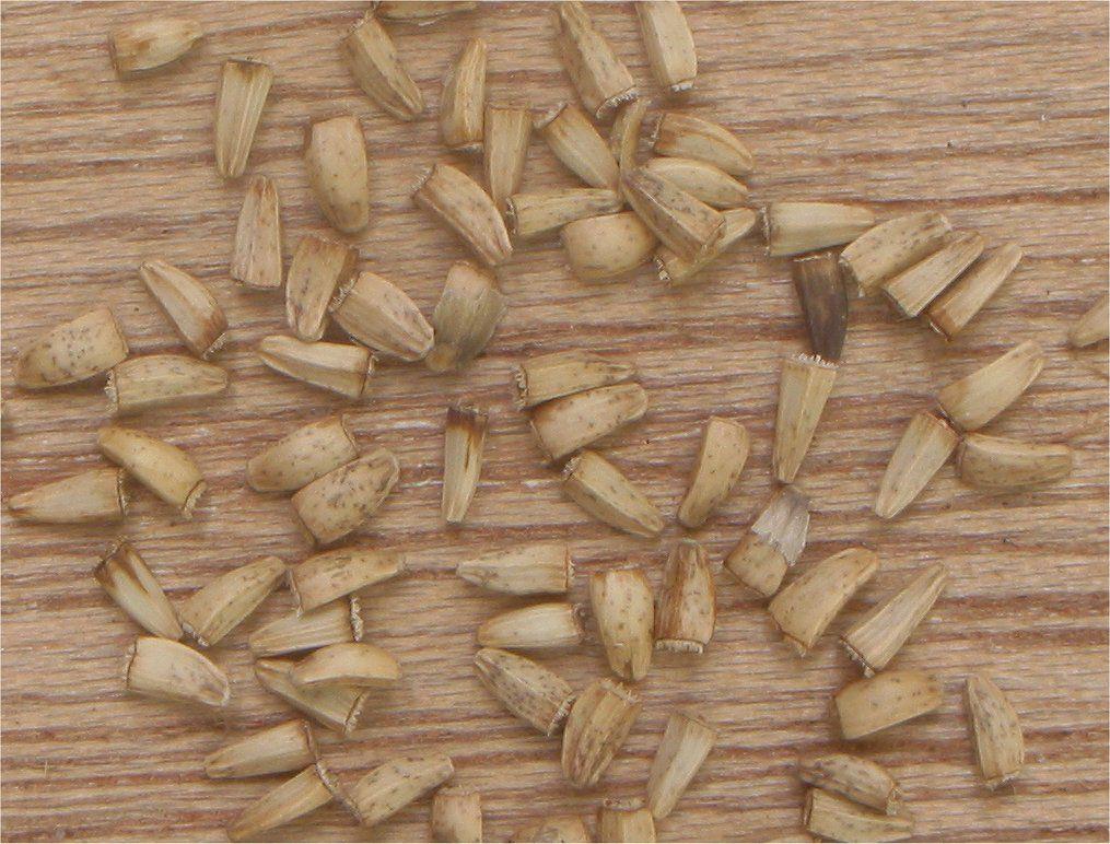 Chicory-seeds