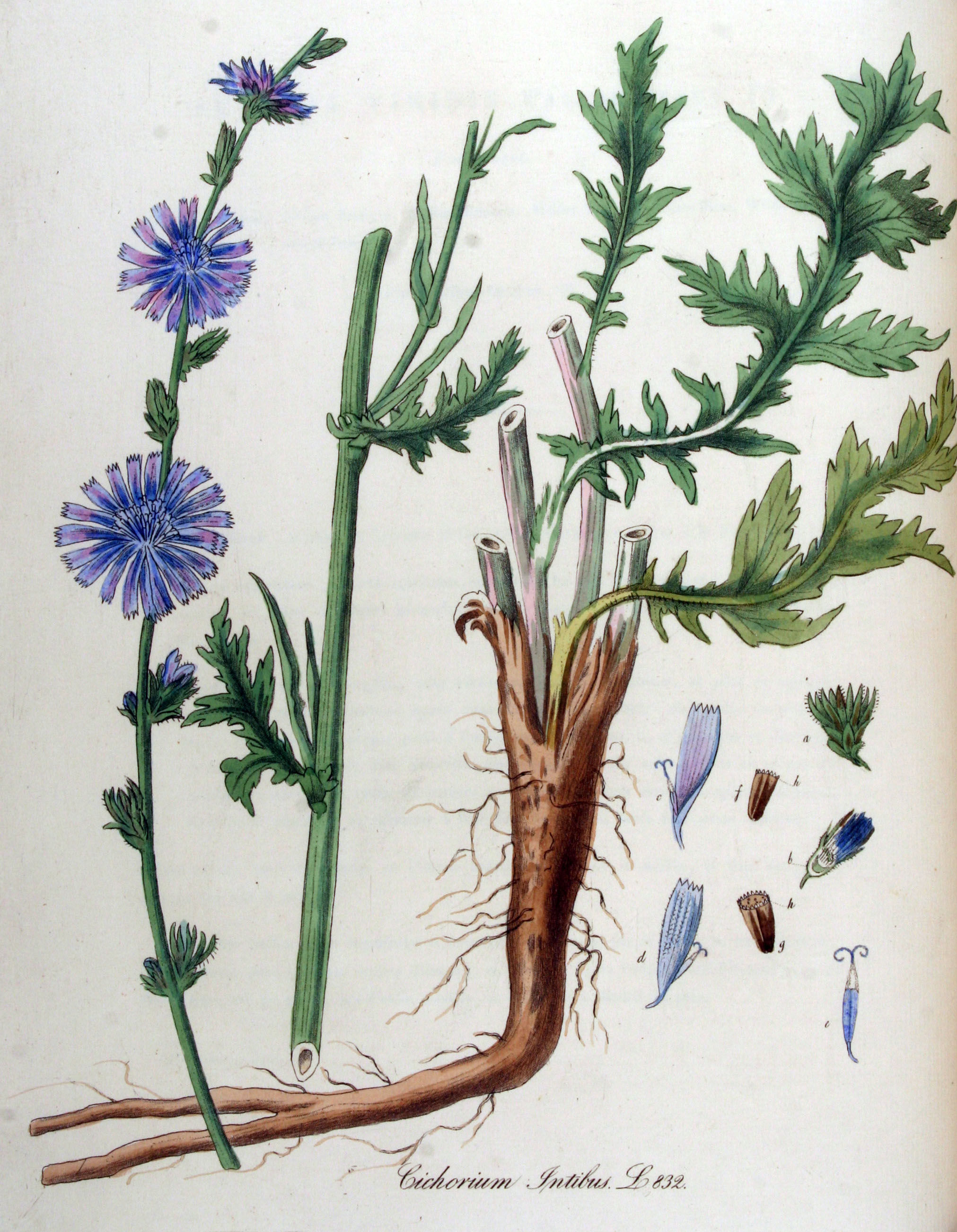 Plant-illustration-of-Chicory
