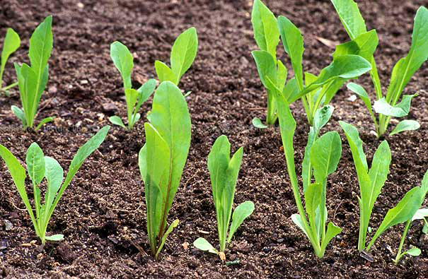 Seedlings-of-Chicory