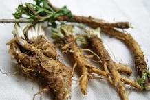 Chicory-root