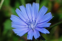 Close-up-flower-of-Chicory