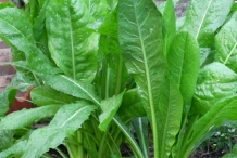 Leaves-of-Chicory