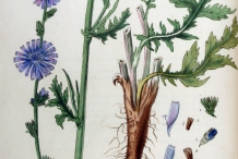 Plant-illustration-of-Chicory