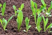 Seedlings-of-Chicory