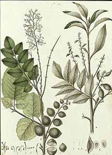 Plant-Illustration-of-Chile-hazel
