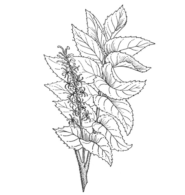 Sketch-of-Chile-hazel