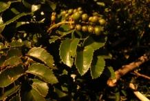 Leaves-of-Chile-hazel