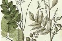Plant-Illustration-of-Chile-hazel