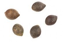Seeds-of-Chile-hazel