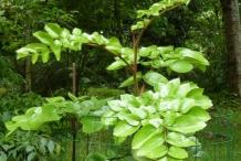 Small-Chile-hazel-plant