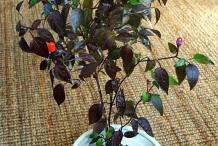 Chili-plant