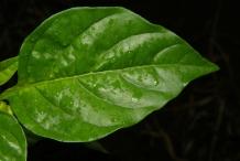 Chili-leaf